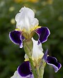 Iris . The sort of Beautiful night. Royalty Free Stock Photography