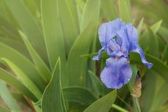 Iris Spring Flower Blauwe purpere iris Bloemblaadjes van een Bloem van Iris Bloem in dauwdalingen stock foto