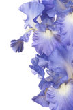Iris. Studio Shot of Blue Colored Iris Flower Isolated on White Background. Large Depth of Field (DOF). Macro Stock Photos