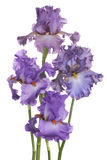 Iris Royalty Free Stock Photography