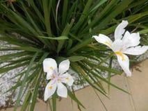 Iris suburbains blancs de trottoir, fleurs Images stock