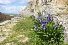 Iris in Sumeg castle, Hungary royalty free stock images