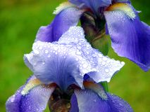 Iris After a Summer Rain. Close up of rain speckled purple iris Royalty Free Stock Image
