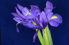 Iris sur un fond bleu-foncé Image libre de droits