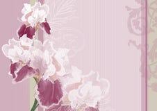 Iris sur un fond rose Illustration de Vecteur