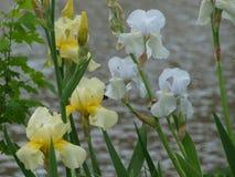 Iris Are Symbols jaune et blanche de ressort, de mariages et de bonheur photo libre de droits