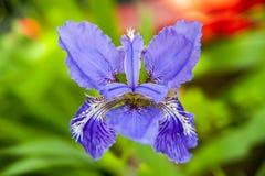 Iris tectorum maxim fleur-de-lis Stock Image