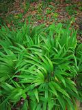 Iris tectorum Maxim Royalty Free Stock Photo