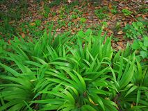 Iris tectorum Maxim Stock Photo