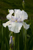 Iris tectorum Maxim Royalty Free Stock Images