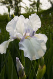 Iris tectorum Maxim Stock Photography