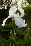 Iris tectorum Maxim Stock Photos