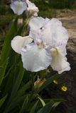 Iris tectorum Maxim Royalty Free Stock Image