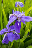 Iris tectorum Maxim Royalty Free Stock Photos