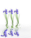 Iris Tranquility Stock Images