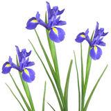 Iris Trio Stock Photography
