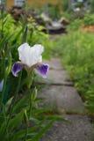 Iris in tuin Stock Afbeelding