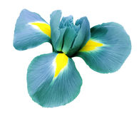 Iris turquoise flower. white isolated background with clipping path.  Closeup  no shadows Stock Photography
