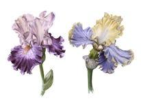 Iris twee Geïsoleerdj op witte achtergrond vector illustratie