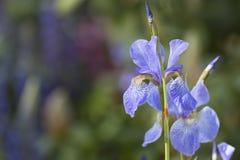 Iris Unfurling salvaje imágenes de archivo libres de regalías