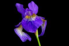 Iris versicolor Lizenzfreies Stockfoto