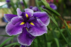 Iris versicolor flower closup Royalty Free Stock Photos