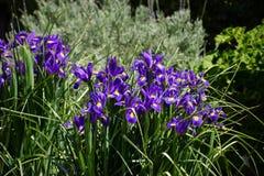 Iris versicolor im Garten stockfotos