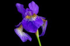 Iris versicolor Royalty Free Stock Photo