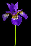 Iris versicolor Stock Photos