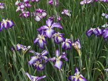 Iris versicolor, variegated flowers of rich violet mottled Royalty Free Stock Image