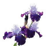 Iris Vielzahl des großen Gatsby, das auf weißem Hintergrund lokalisiert wird stockfoto