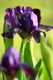 Iris violet de floraison Photos stock