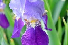Iris Violet Flower no jardim da casa imagens de stock royalty free