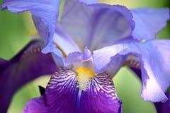 Iris Violet Flowers Stock Photo Detail Closeup stock photo