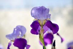 Iris Violet Flowers Stock Photo Detail Closeup royalty free stock photo