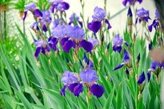 Iris Violet Flowers Stock Photo Detail Closeup royalty free stock images