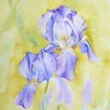 Iris violetas con la acuarela Fragmento del proceso ilustración del vector