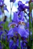 Iris violetas en una cama de flor Imagenes de archivo