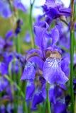 Iris violetas en una cama de flor Fotos de archivo libres de regalías