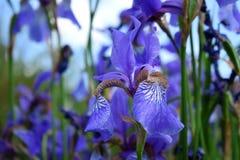 Iris violetas en una cama de flor Imagen de archivo libre de regalías