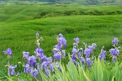 Iris violets sur un fond des collines vertes Photo stock