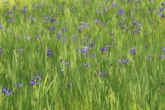 Iris wächst in den Gruppen im Sumpf Stockfoto