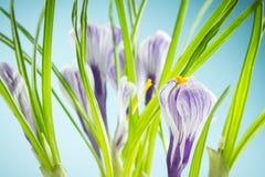 Iris wallpaper Royalty Free Stock Images