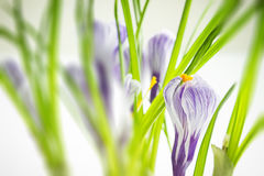 Iris wallpaper Royalty Free Stock Photography