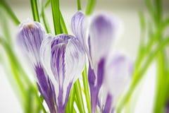 Iris wallpaper Royalty Free Stock Photos