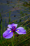 Iris in Water Garden.  royalty free stock image