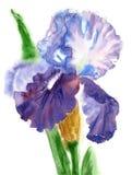 Iris Watercolor bianca blu Fotografie Stock Libere da Diritti