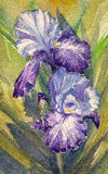 Iris Royalty Free Stock Photography