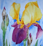 Iris - Watercolour painting. Watercolour painting on artist paper, created by the photographer Stock Photos