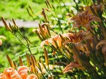 Iris. These iris were taken this summer Royalty Free Stock Image